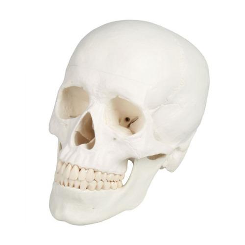 M 3B 두개골모형 4500 - 머리뼈모형