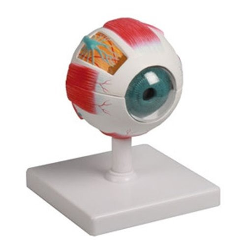 M ZIMMER 안구모형 6분리 F210 - 눈모형