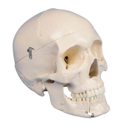 M 3B 두개골모형 (치아분리) 4파츠 4513 - 머리뼈모형