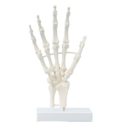 M ZIMMER 손 골격 모형 6040 - 손뼈모형