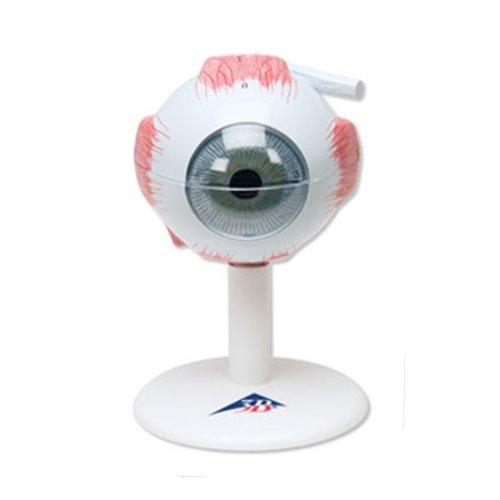 M 3B 안구모형 6분리 F15 - 눈모형